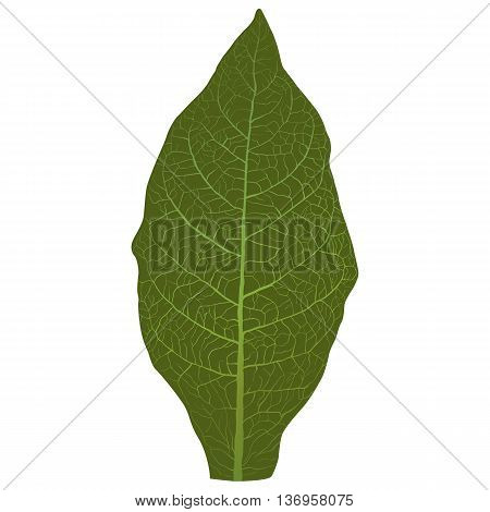 green Vector tobacco leaf with veins, isolated on white background