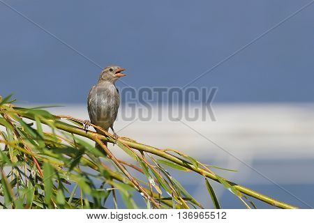 young sparrow sits on a branch on a blue background