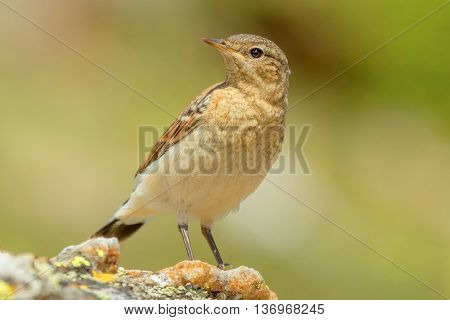 Northern wheatear juvenile sitting on the ground