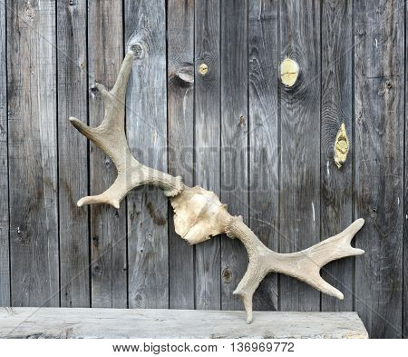 Old horns outdoors. Summer nature object outdoor