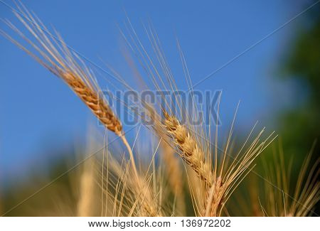 Wheat spikes isolated with the blue and green background