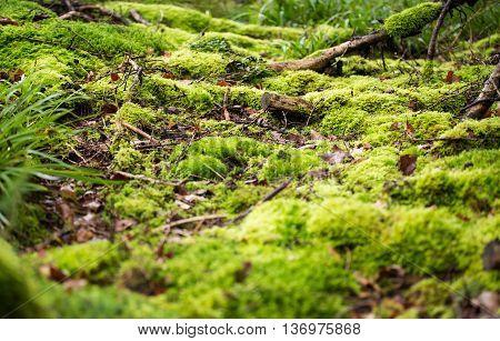green deep Forest Moss over wild roots