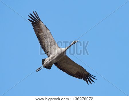 Common crane (Grus grus) in flight with blue skies in the background