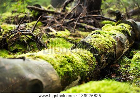 tree trunk with green moss in wild forest