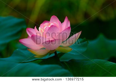 Pink Water Lily or Lotus flower surrounded by lily pads in a small tropical pond