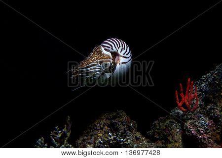 nautilus underwater isolated on black background macro