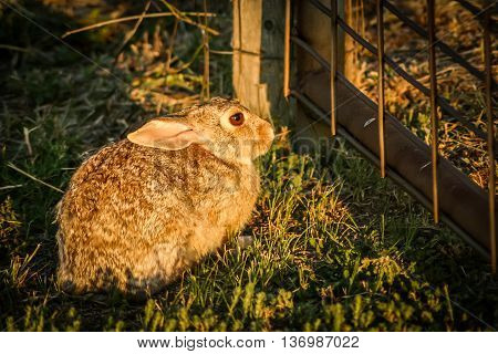 Brown rabbit in afternoon sun, waiting at metal gate