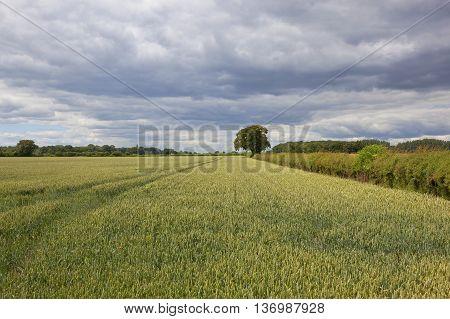 Yorkshire Wheat Crop