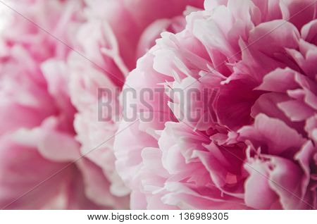 Beautiful fresh pink peony flower on pink floral background. Peonies summer. Love bloom bouquet flowers. Macro image. Place for text copy space.