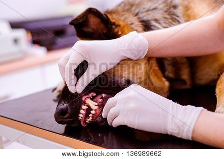 Veterinarian examining German Shepherd dog with sore mouth. Young blond woman working at Veterinary clinic.