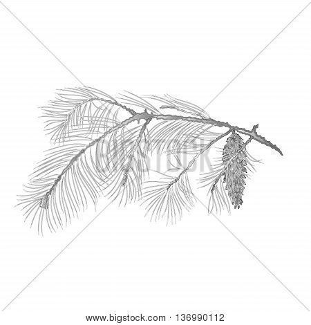 White Pine branch with pine cone as vintage engraving Vector illustration