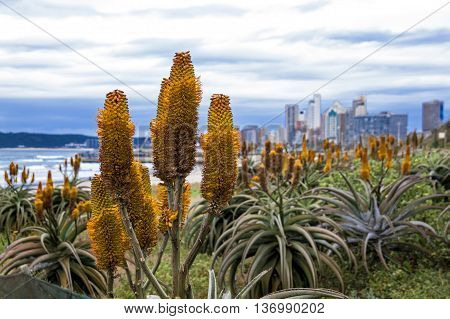 Beautiful Aloes Growing On Dunes Of Durban Shoreline