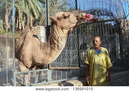 Camel Drinking Cola In Zoo