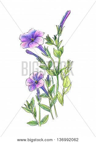 Beautiful petunia flowers hand draw color pencils and pen technique