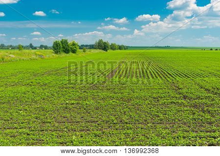 Agricultural landscape - field with soybean in Poltavskaya oblast Ukraine