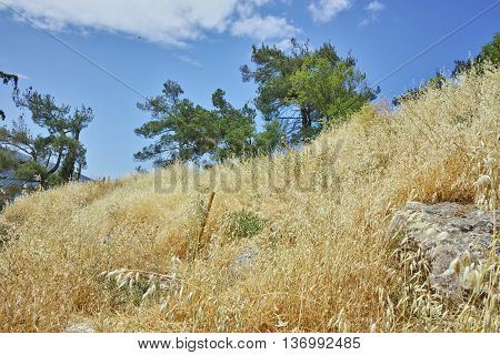 Tree and Yellow grass in Ancient Greek archaeological site of Delphi,Central Greece