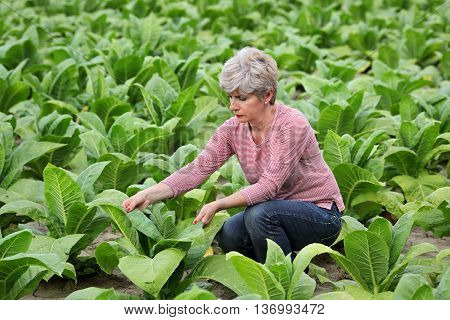 Farmer or agronomist examine tobacco plant field