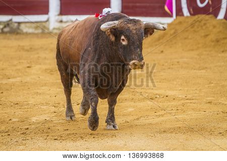 Ubeda SPAIN - October 4 2010: Capture of the figure of a brave bull of hair brown color in a bullfight Spain