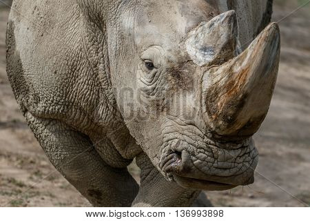 Close-up of the head of a rhinoceros