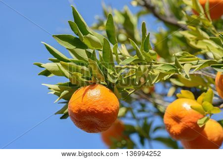 Tangerines or mandarins on tree branches with leaves in dappled sunlight