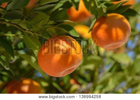 Tangerines or mandarins on branches with leaves in dappled sunlight
