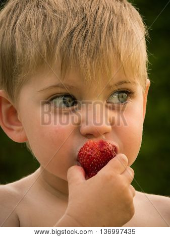 little boy eating strawberries from the garden in summer
