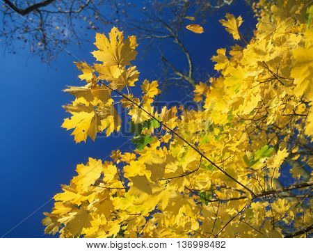 Autumn yellow leaves against a blue sky.