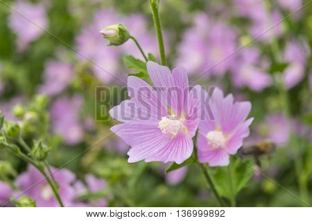Pink mallow flowers. Close up view of the blooming a hollyhock flower. Blooming Hibiscus