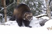 stock photo of wolverine  - Angry Wolverine in deep snow on winter day - JPG