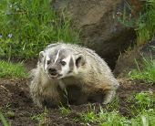 pic of badger  - Angry American Badger next to burrow with green grass and flowers - JPG
