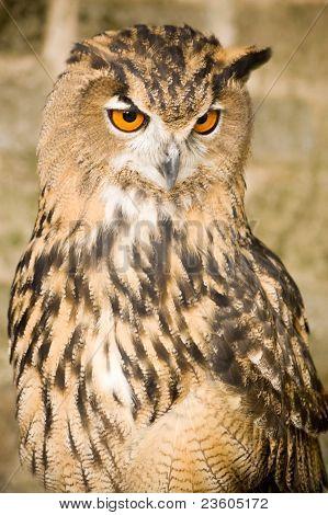 Coruja de águia Eurasian quizzical