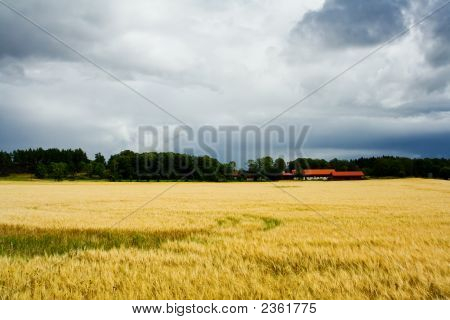Sunlit Field Of Barley And A Farm With A Thundersorm Cloud Behind