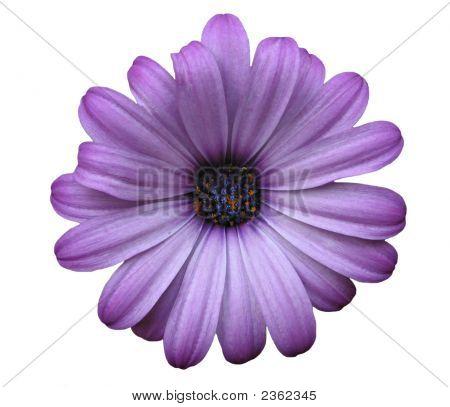 Isolated Purple Daisy