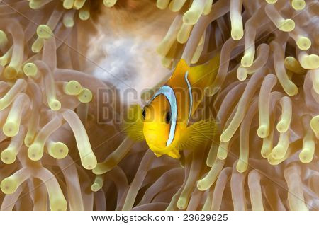 Anemone fish in his colorful host sea anemone.