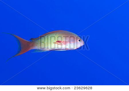 Male anthias fish isolated over blue.
