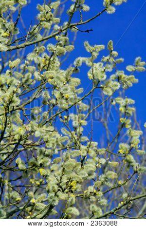 Spring Shrub Of Fluffy Catkins