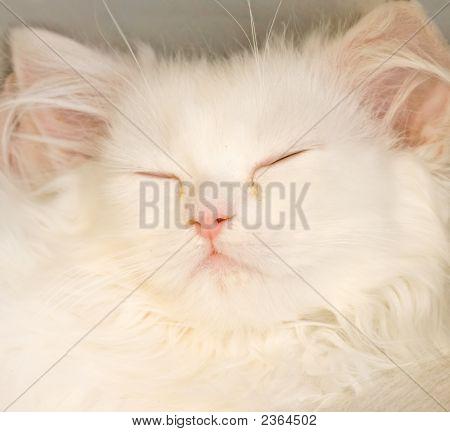 White Sleeping Kitten Cat Closeup