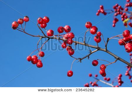 Hawthorn Branch With Berries