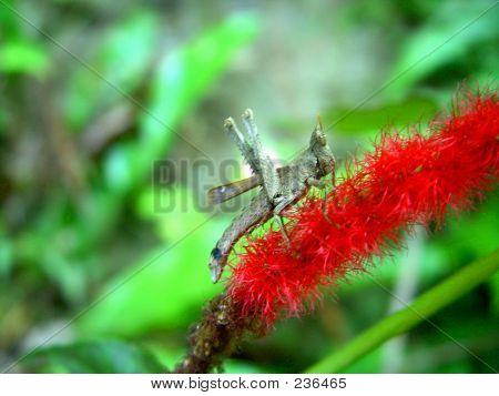 Grasshopper_red