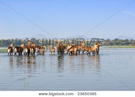 Herd Of The Antelopes Waterbuck In The Water