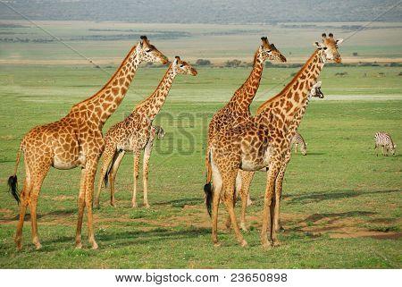 Giraffes Herd