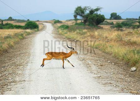 Antelope Reedbuck Crossing African Road