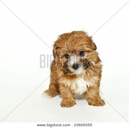 Dulce poo de Yorkie Puppy