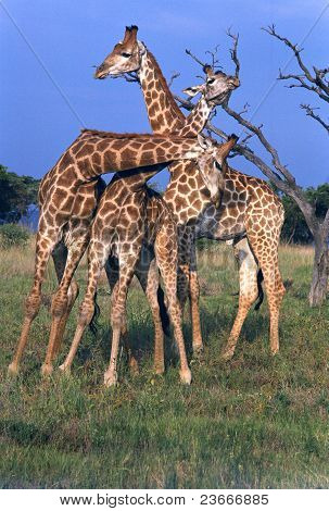 3 Young Male Giraffe Necking