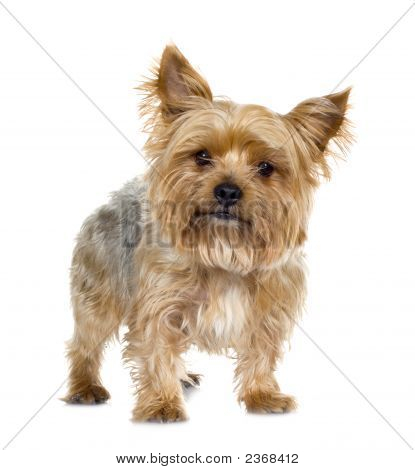 Yorkshire Terrier (5 Years)