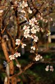 Beautiful Nature Scene With Blooming Tree. Spring Flowers. Beautiful Orchard. Apricot Tree Flowers.  poster