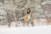 Siberian Tiger Jump In Snow In A Winter Taiga. Tiger In Wild Winter Nature. Danger Animal. Big Tiger poster