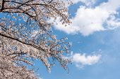 cherry blossoms close up in seoul south korea. Cherry blossoms blossoming in spring Yeouido Park at  poster