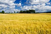 stock photo of gleaning  - Ripe barley field with a farmers house - JPG