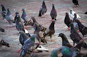 Group Of Front Rock Pigeon Walking In The Street Looking Sympathy For Food.rock Pigeons Crowd Street poster